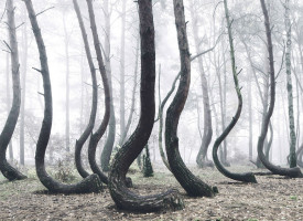 Crooked Forest: There is one mysterious forest in Poland which is characterized by very strange hooked pines.