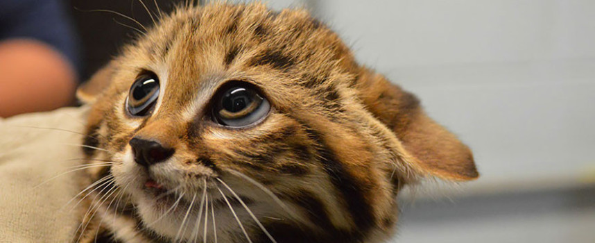 17 Rare Cats That You Might Not Have Heard Of