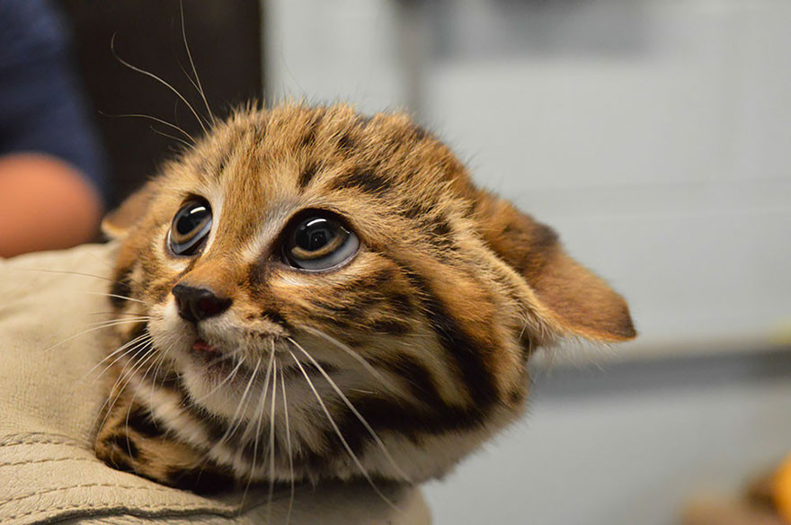 The black-footed cat