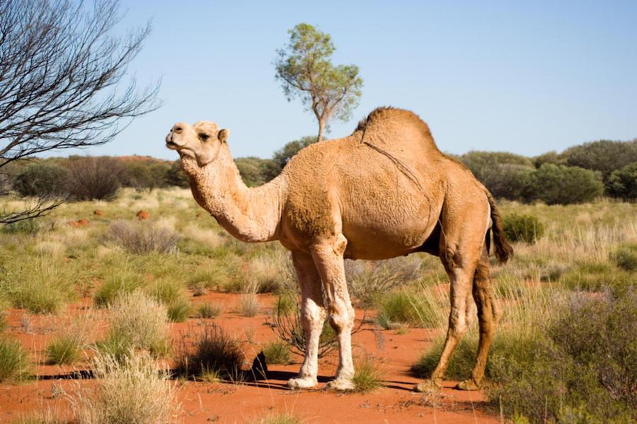 Saudi Arabia imports camels from Australia.